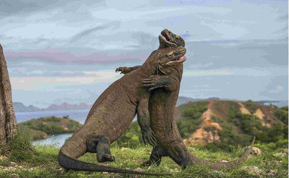 Komodo dragons fighting