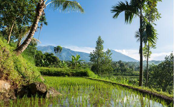 Lombok paddies