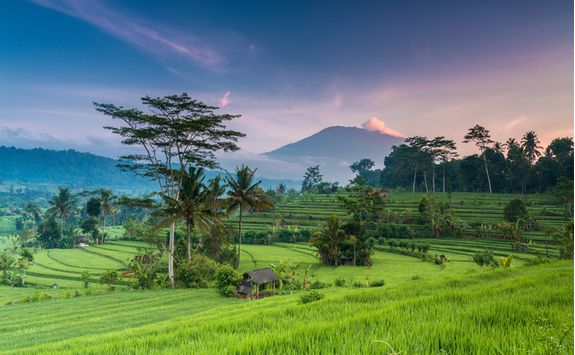 bali rice terrace field