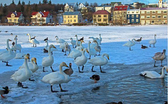 Geese on frozen Reykjavik Lake