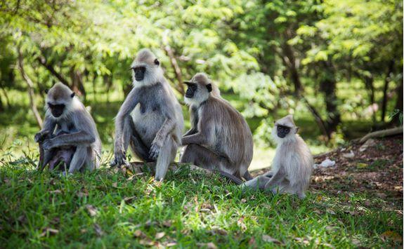 Monkeys, Sri lanka