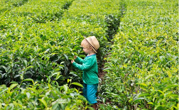 Tea plantation, kid