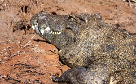 Crocodile, Namibia