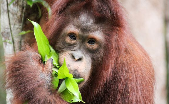 An orangutan eating a leaf