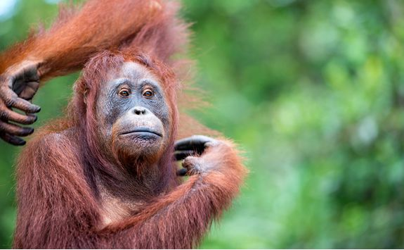 An orangutan itching in Tanjung Puting National Park