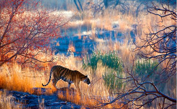 tiger ranthambore national park