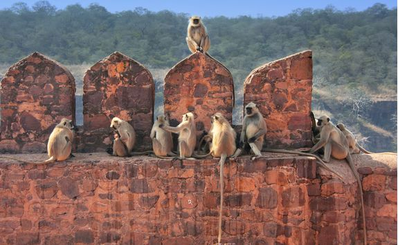 ranthambore national park fort monkeys