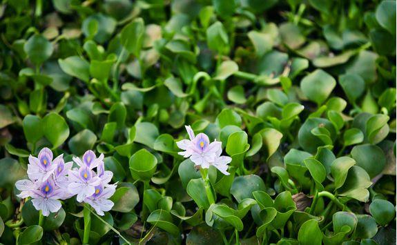 lake vembanad waterlilies