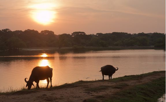 Water buffalo drinking at Yala
