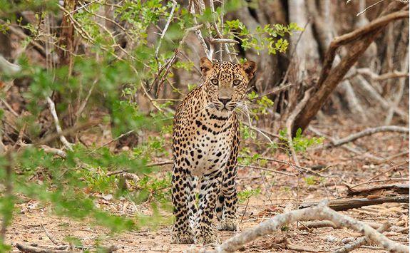 chena huts yala leopard