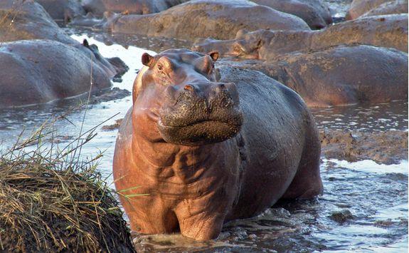 Hippos during a safari
