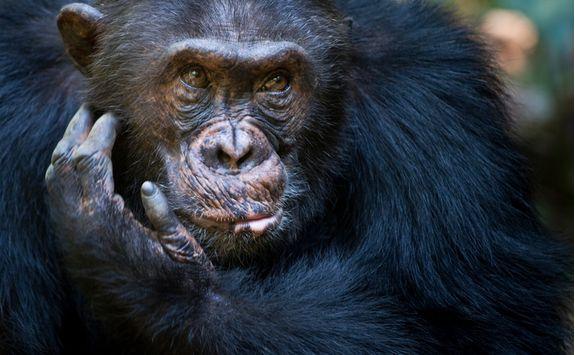 Chimp in Mahale