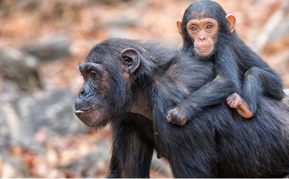 Mahale chimps