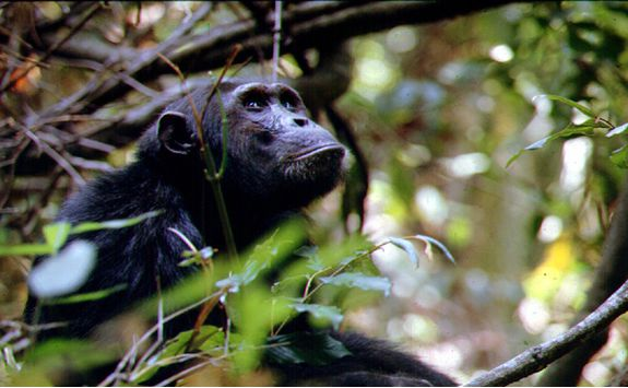 Chimp in a tree in Mahale
