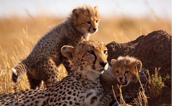 A mother leopard and her baby leopards