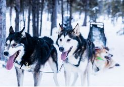 Huskies are ready to pull the ride