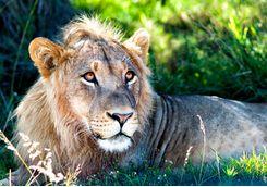 Lion lying down
