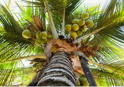 Coconuts, Java