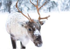 Spot a reindeer