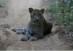 Leopard, Sri Lanka