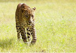 Leopard, Wilpattu