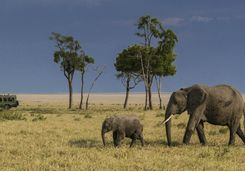 An elephant herd on safari