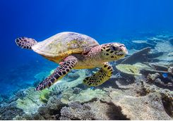 maldives-sea-turtle