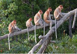 Proboscis Monkeys on tree