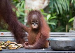 A baby orangutan