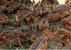ranthambore national park deer