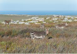 zebras cape point