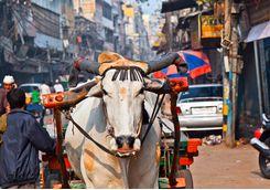 A cow walking along a street in Delhi