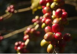 coorg coffee beans