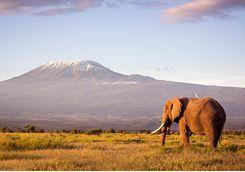 Elephant by Kilimanjaro