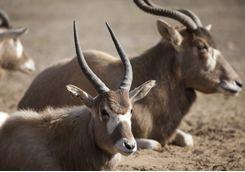 Impala at Katavi National Park