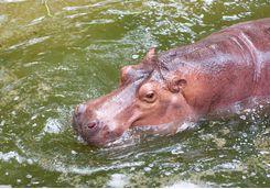 A hippo swimming