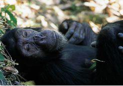 Chimp sleeping in Tanzania