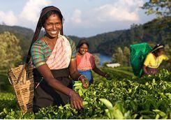 tea_picking_girls