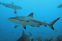 Image of grey reef sharks in the blue