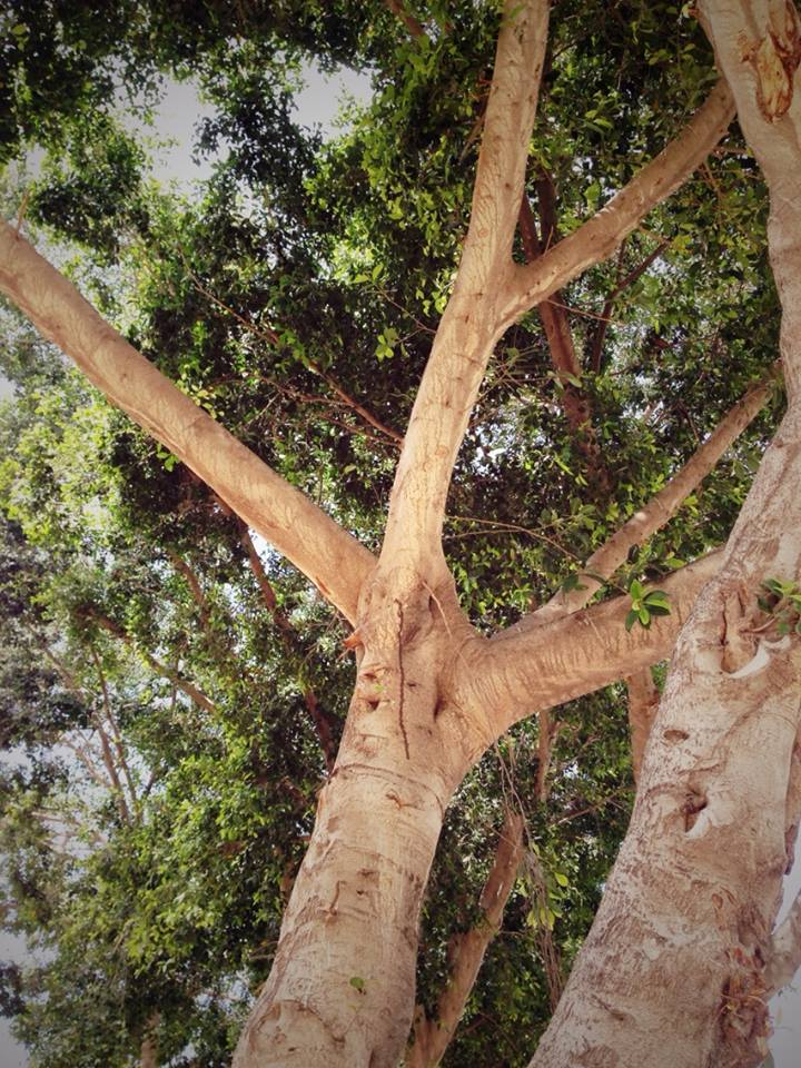 Artwork from the book - Tel Aviv trees- Photografs – העצים של תל אביב-צילומים by Rachel Tucker Shynes - Illustrated by Rachel Tucker Shynes רחל טוקר שיינס - Ourboox.com