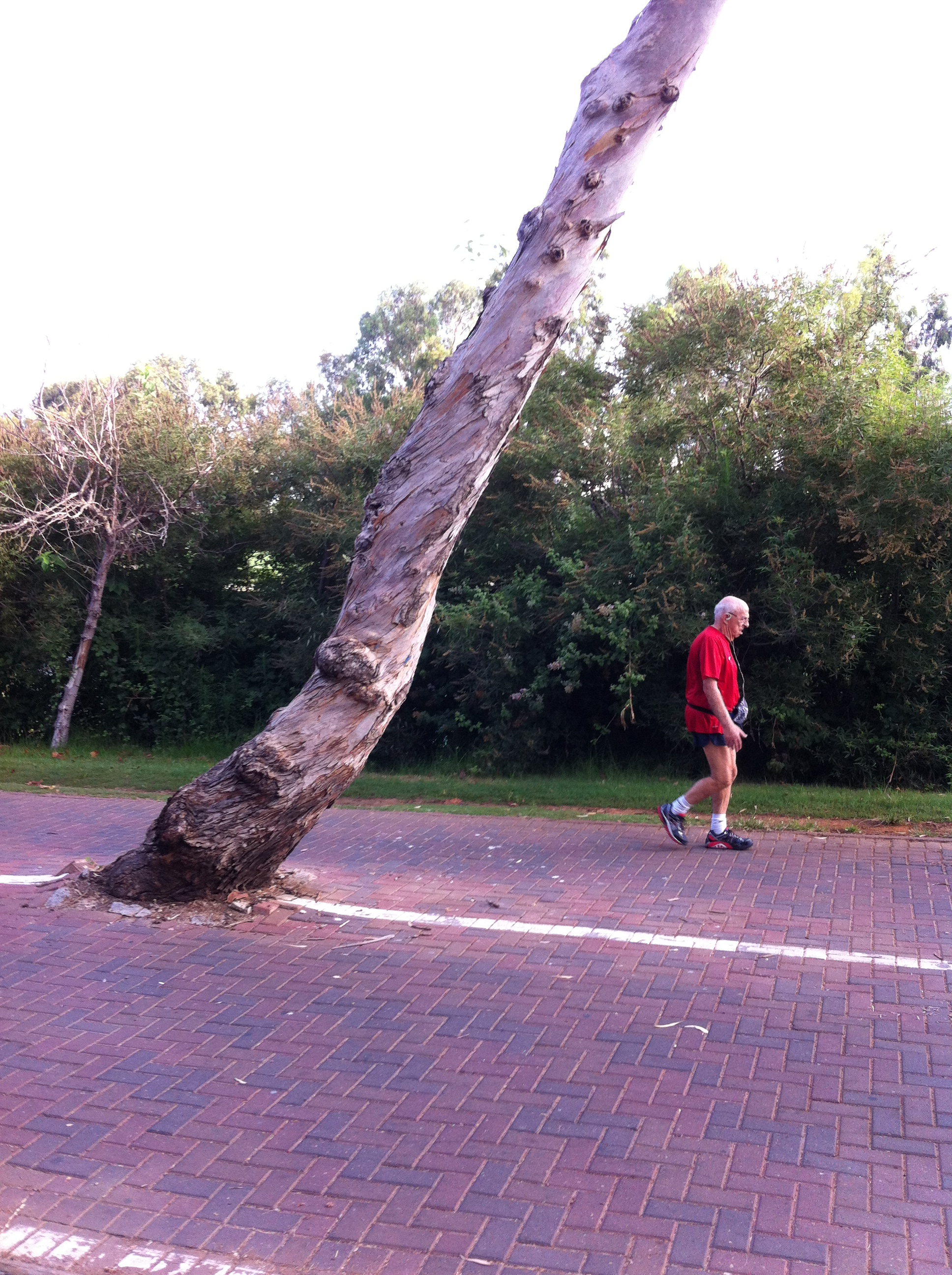 a tree bent at perilous angle