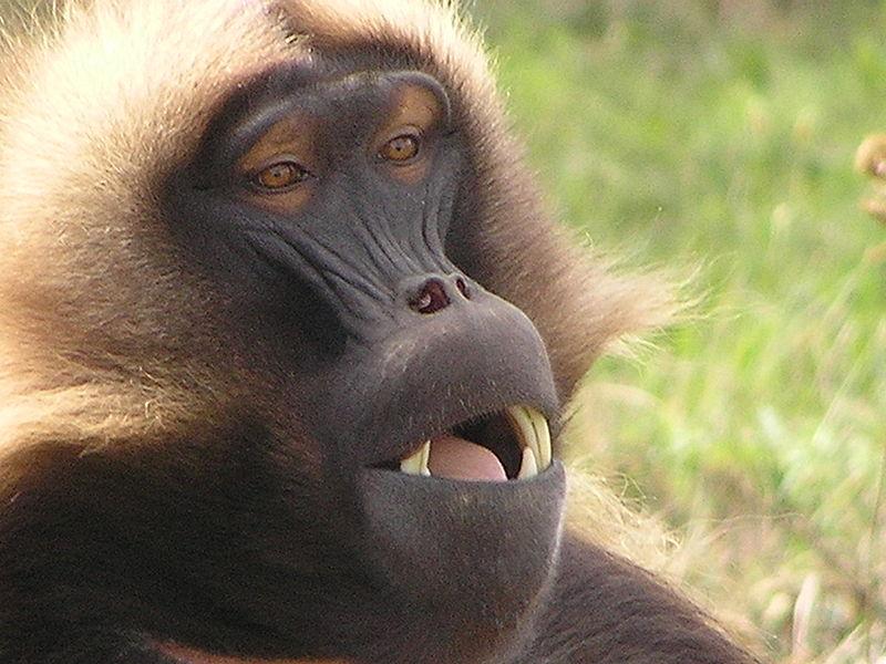 a monkey with bad teeth