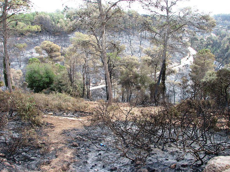 היער השרוף ליד עספיא