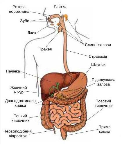 Організм людини by Irina - Illustrated by Природознавство. 3 клас - Ourboox.com