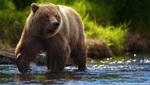 THE BROWN BEAR (Ursus Arctos) Endangered Mammal Biology