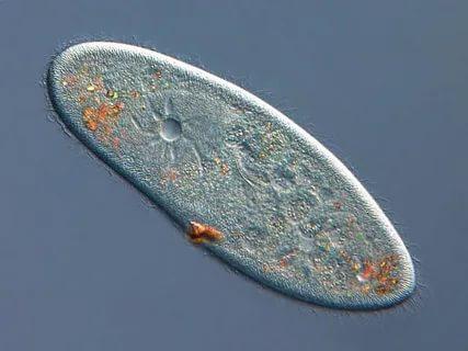 Tatlı sularda yaşayan amip, paramesyum, öglena gibi ökar - yotik tek hücreli canlılarda hücre içine giren suyun fazlası, kont - raktil kofullar yardımıyla hücre dışına atılır (Görsel 2.30). Bu olay sırasında ATP harcanır. Kontraktil kofullar, sitoplazmaya doğru uzanan çok sayıda kol yardımıyla fazla suyu alarak biriktirir. Ko - fulun etrafını saran ve kasılabilen ipliksi yapılar sayesinde za - man zaman kasılan koful içerisindeki su bir miktar tuzla birlikte hücre dışına atılır. Bu sayede hücre hemoliz olmaktan kurtulur.