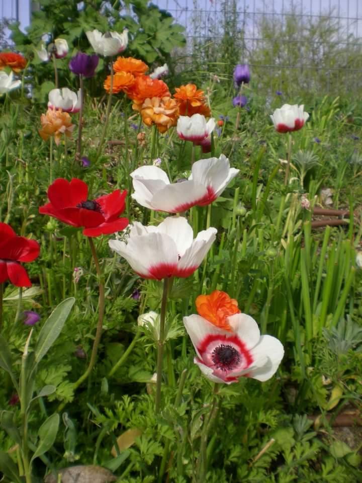 תהילות עולם ופריחה אביבית – רחל וורטה by Yoged - יגודז