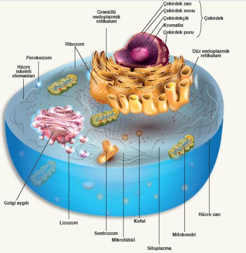 Hayvan Hücresi