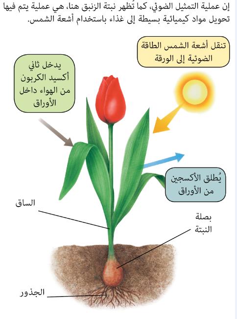 البناء الضوئي by ayat  - Illustrated by ايات عطون - Ourboox.com