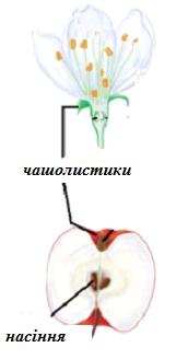Приклад: У яблука можна знайти залишки чашолистків.